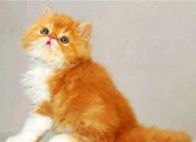 纯种波斯猫高清图片