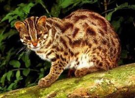 可愛寵物豹貓高清欣賞圖片