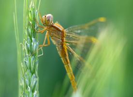 几只不一样的蜻蜓图片欣赏