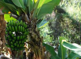 长在树上的绿色香蕉高清图片欣赏