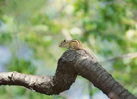 在樹枝上蹦蹦跳跳的小松鼠圖片欣賞