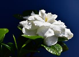 纯白漂亮的栀子花高清图片欣赏