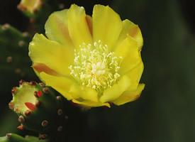 仙人掌开出的黄色花朵图片欣赏