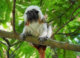 非常可爱的棉花顶面绢毛猴图片