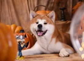 一组开心的秋田犬图片欣赏