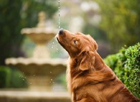 雨天,玩的更开心,这就是爱水的金毛啦