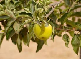 一組青澀的青蘋果實拍圖片欣賞