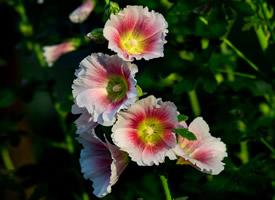 七月之花蜀葵花高清图片欣赏