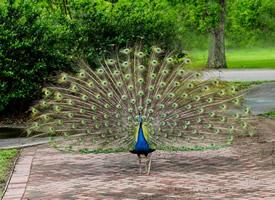 十分美丽的孔雀开屏图片欣赏
