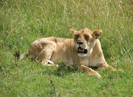 一组凶猛的母狮实拍图片欣赏