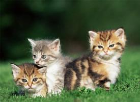 超可爱的中华田园小猫