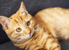 橘色的中华田园猫图片