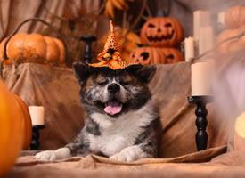 一组颜色比较特别的秋田犬图片