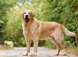 已经八岁的金毛狗狗艺术照图片