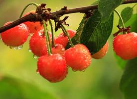 樹上的櫻桃實拍圖片欣賞