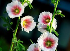 一组白里透红灿烂的蜀葵花图片