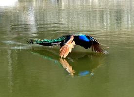一组绿孔雀湖面上飞的图片欣赏