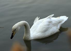湖面上悠闲的天鹅图片大全