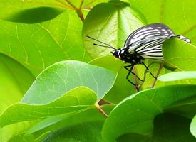 一組綠葉上的蛺蝶圖片欣賞