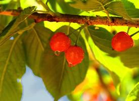 陽光下鮮紅瑪瑙紅櫻桃圖片欣賞