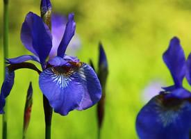 娇嫩美丽的二月兰花图片