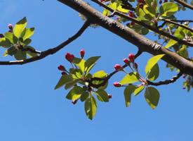 西府海棠树花蕾图片欣赏