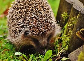 小巧迷人的动物刺猬图片欣赏