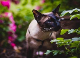好奇的暹罗猫图片