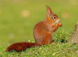 一組歐洲紅松鼠小寵物圖片欣賞