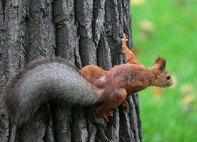一組在樹上到處跑的紅松鼠圖片