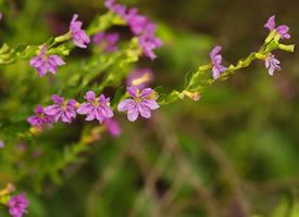 一组紫花满天星图片欣赏
