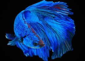 有趣的泰国斗鱼图片