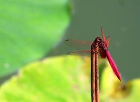 春日荷塘里的红色蜻蜓图片