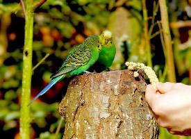 黄绿相间的虎皮鹦鹉图片