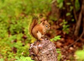 紅褐色的小松鼠圖片欣賞
