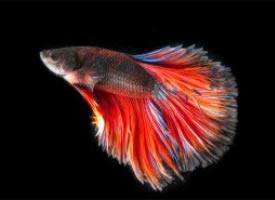 颜色各异的泰国斗鱼图片