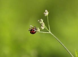 觅食的益虫-七星瓢虫图片