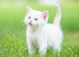 討人喜愛的波斯貓圖片欣賞