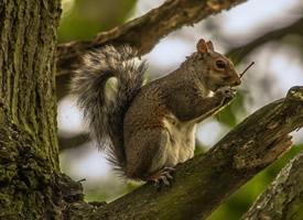 一組愛偷吃野果的小松鼠圖片