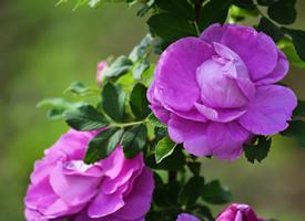 野生红刺玫-玫瑰花图片大全