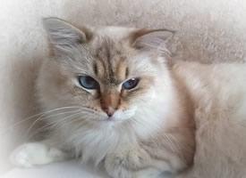 可愛軟萌的白色小貓咪桌面壁紙