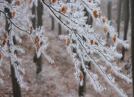 冬季树枝上的雾凇图片
