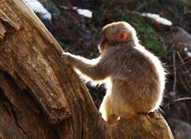 一组登别地狱谷猴子图片欣赏