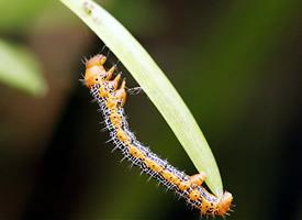 毛毛虫吃叶子真实图片欣赏