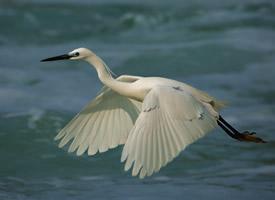水面上一只白鹭飞图片欣赏