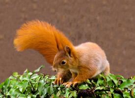 一組紅褐色可愛的小松鼠圖片