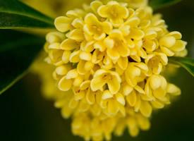 一组六月桂花唯美图片欣赏