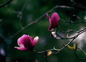 一组紫玉兰树开花图片欣赏