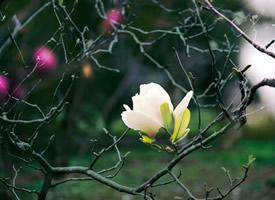 有着淡淡清香的白玉兰花开图片