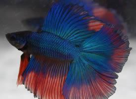 艳丽多姿的泰国斗鱼图片